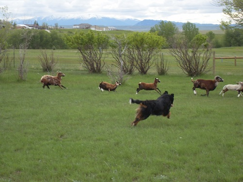 Bernese_Mountain_Dog_Herding.jpg